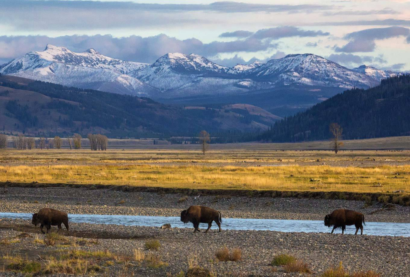 Lamar Valley bison in Yellowstone National Park