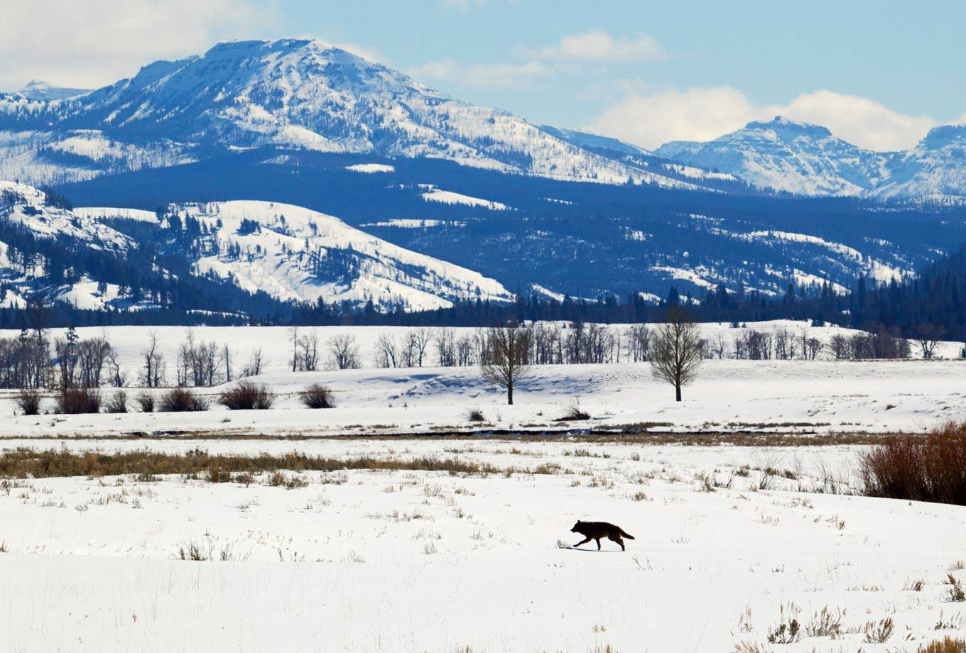 Winter wolf at Lamar Valley in Yellowstone National Park