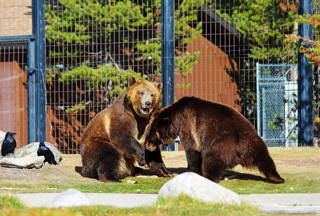 Grizzly & Wolf Discovery Center in West Yellowstone