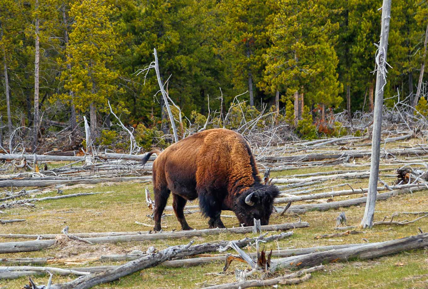 Summer wildlife viewing in Yellowstone National Park
