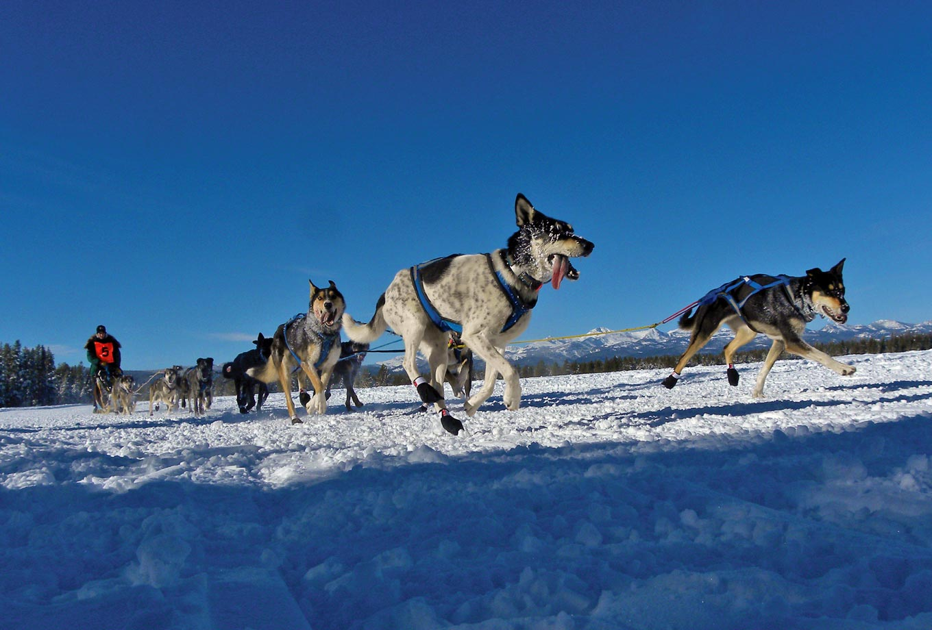 Dog Sledding in West Yellowstone