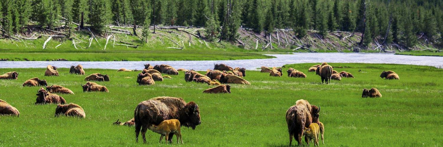 A herd of Yellowstone bison grazing in summer