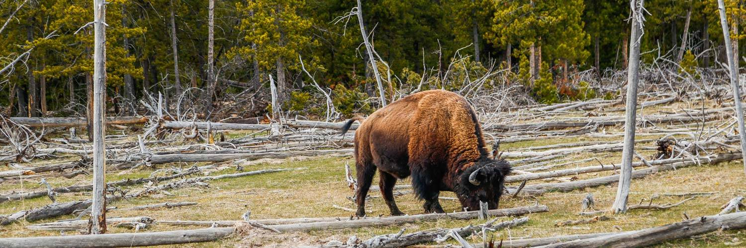 Lone bison grazing among fallen tree limbs