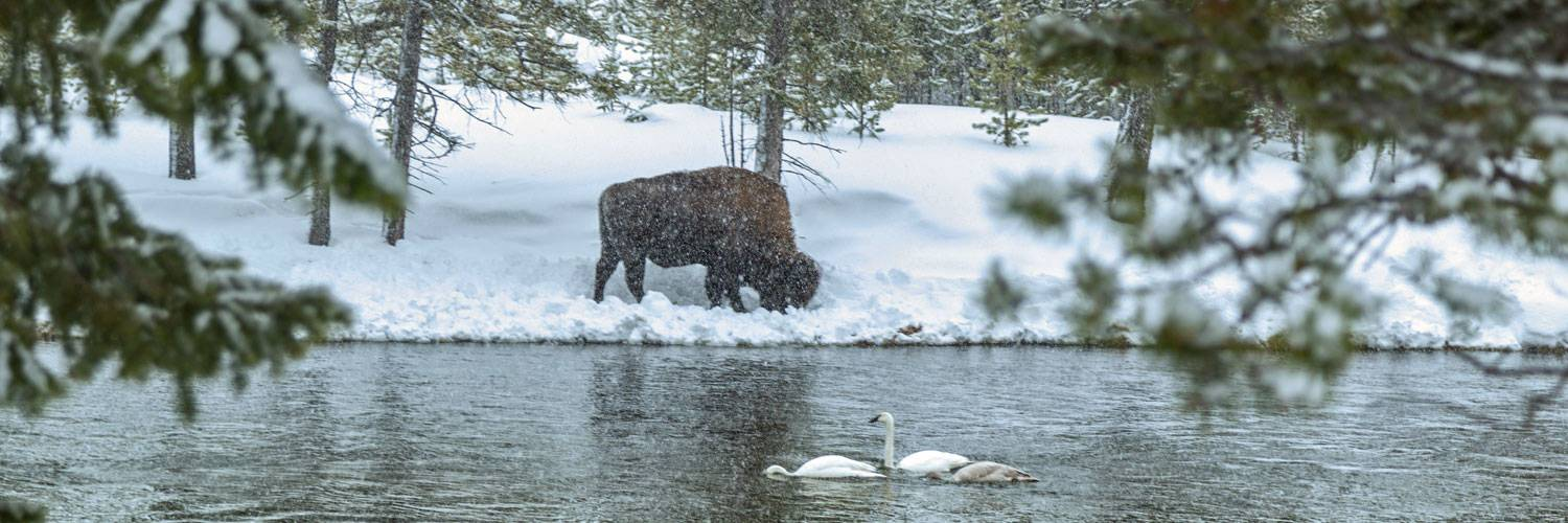 A bison grazes next to trumpeter swans in Yellowstone National Park during winter