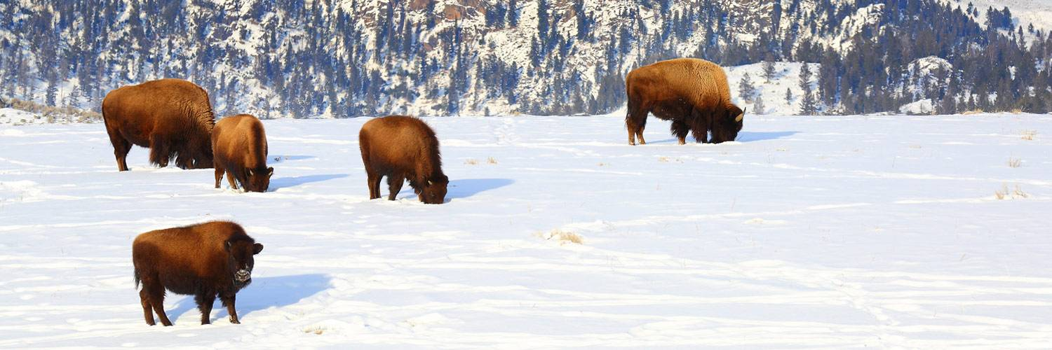 Herd of buffalo bison grazing inside Yellowstone National Park