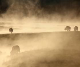 Fall bison grazing in Yellowstone National Park