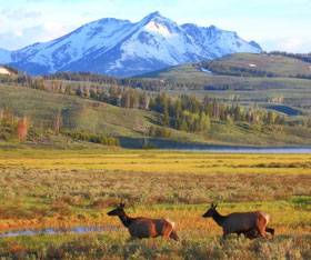 Two elk walking through Yellowstone National Park