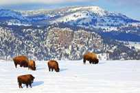 Herd of buffalo bison grazing in front of Electric Peak