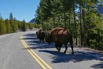 Buffalo bison walking down the road in Yellowstone Park