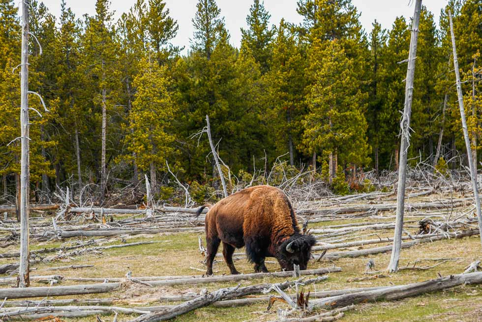 Lone bison eating grass among Yellowstone Park trees