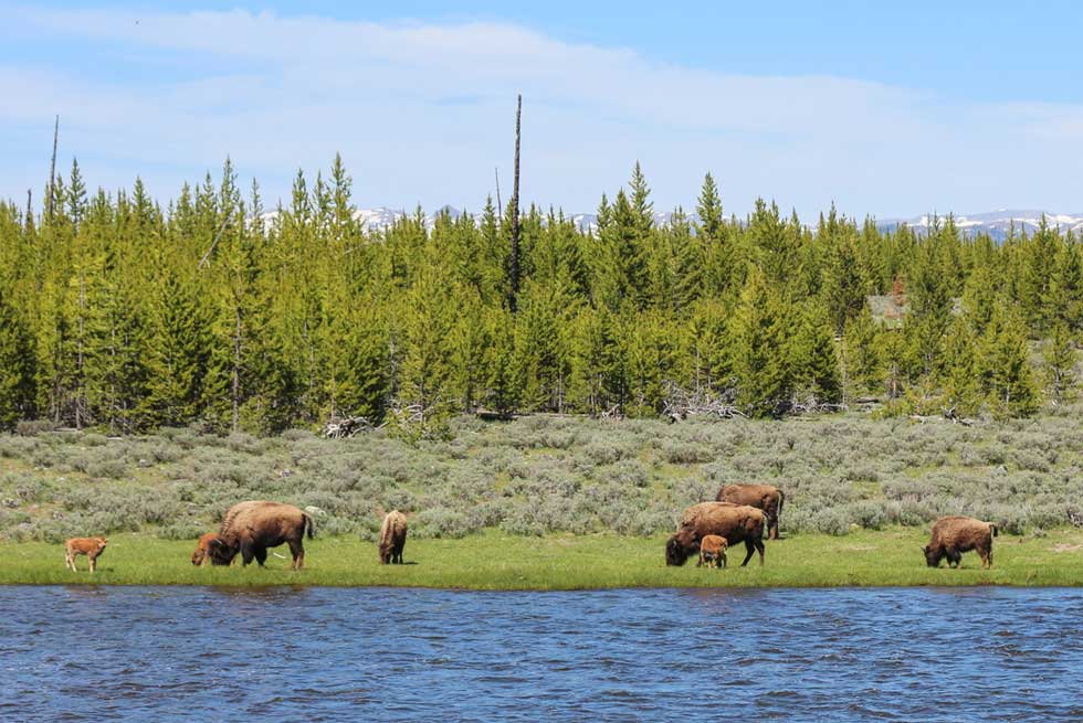 Spring baby bison grazing inside Yellowstone National Park