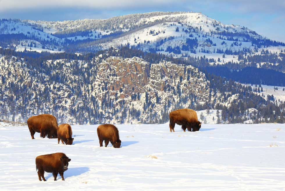 Bison inside Yellowstone National Park