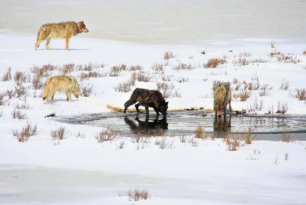 Winter wolves inside Yellowstone National Park