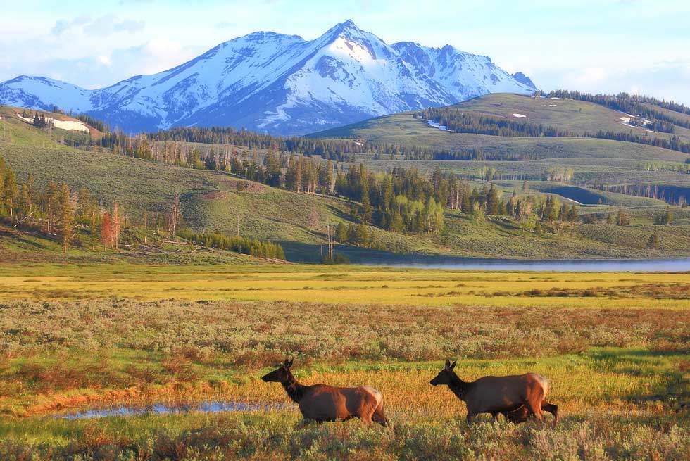 Wildlife inside Yellowstone National Park