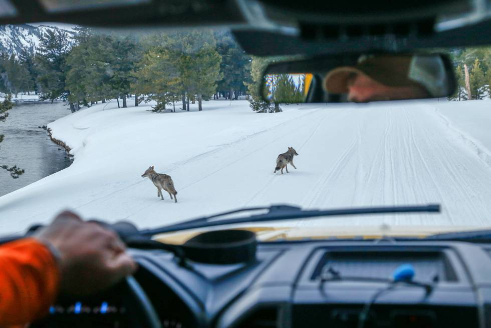 Two coyotes seen from the driver's seat during a Yellowstone snowcoach tour