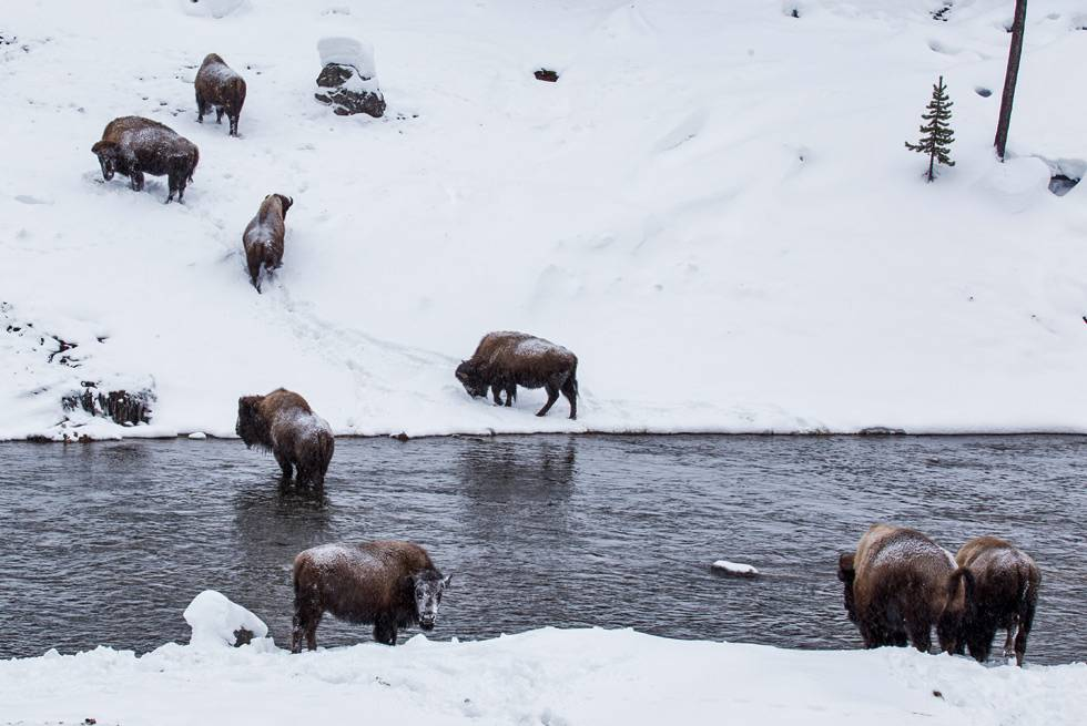 A herd of Yellowstone bison crossing a winter river is one of many sights on your Snowcoach Tour.