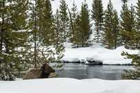A majestic bull elk relaxes by a winter river on our Yellowstone snowcoach tours.