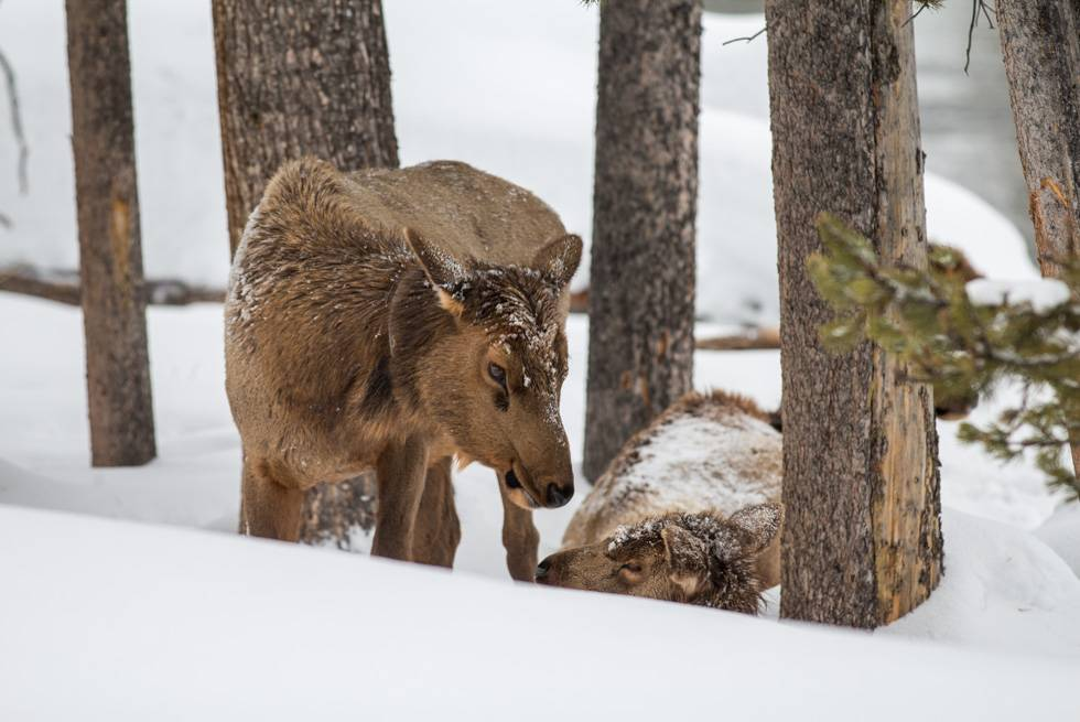A family of Yellowstone elk as seen on one of our snowcoach tours.
