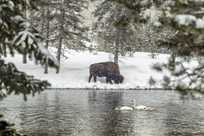 A bison grazing in winter with a rare trumpeter swan sighting.