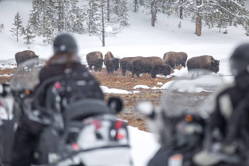 A group of snowmobilers slows down to watch Yellowstone bison grazing in winter.