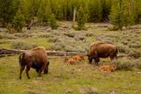 Bison family grazing in Yellowstone Park