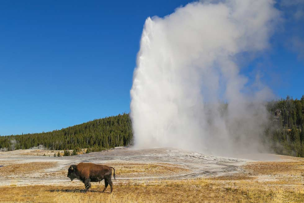 Bison near Old Faithful Geyser inside Yellowstone National Park