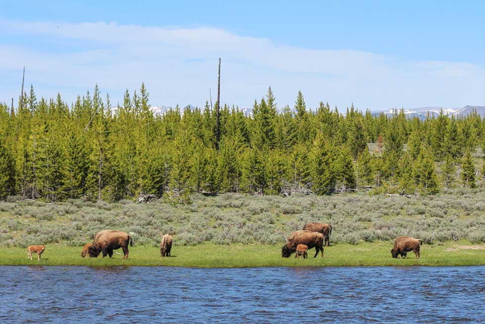 Baby bison grazing near the Madison River in Yellowstone Park