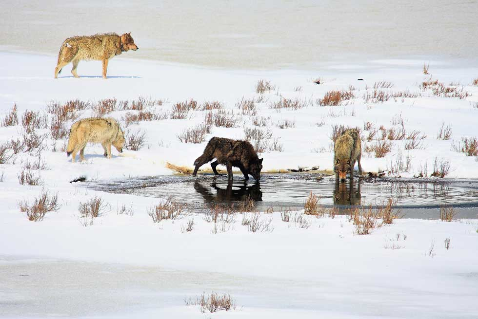 Gray wolves in Yellowstone during winter