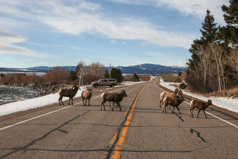 Bighorn sheep crossing the road in Yellowstone National Park