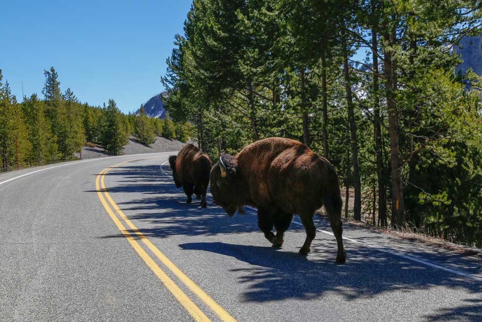 Bison traveling down the road in Yellowstone National Park