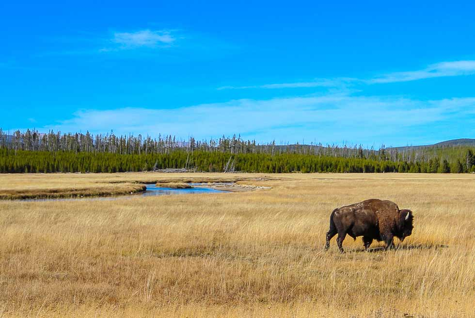 Bison walking near the Madison River in Yellowstone Park