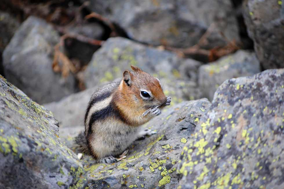 Chipmunk munching on food in Yellowstone National Park
