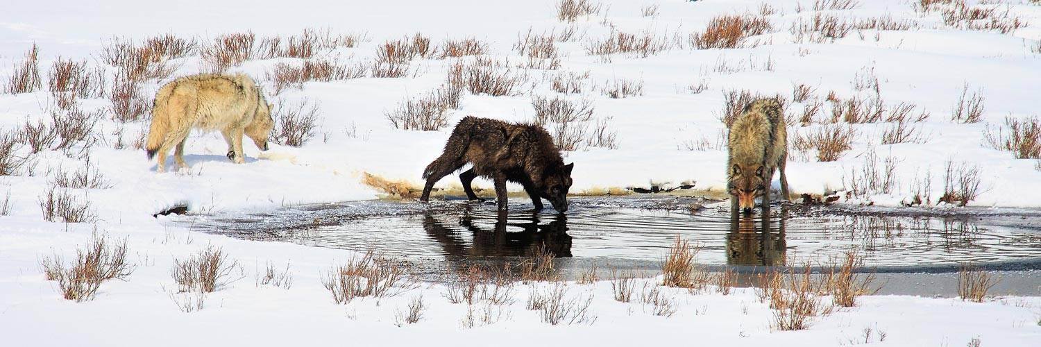 Winter wolves in Yellowstone National Park