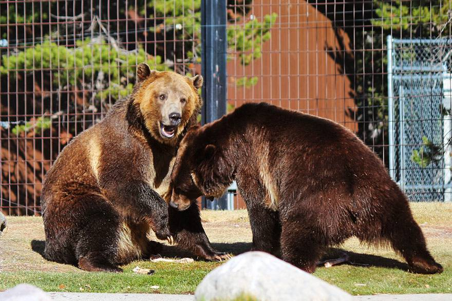 Two bears frolicking at the Grizzly & Wolf Discovery Center