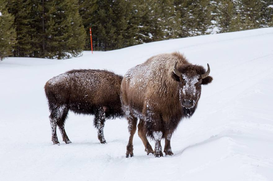 Winter Bison in Yellowstone National Park