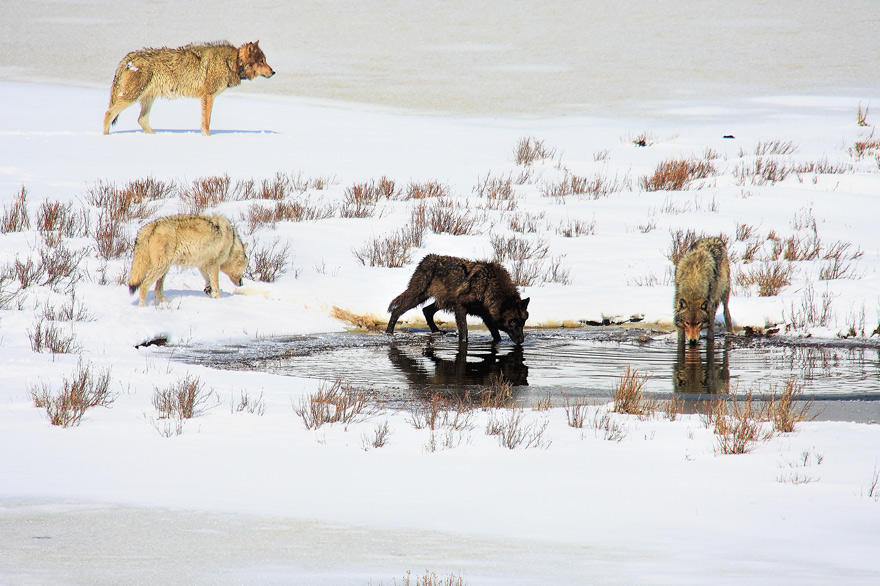 Gray wolves in winter at Yellowstone National Park