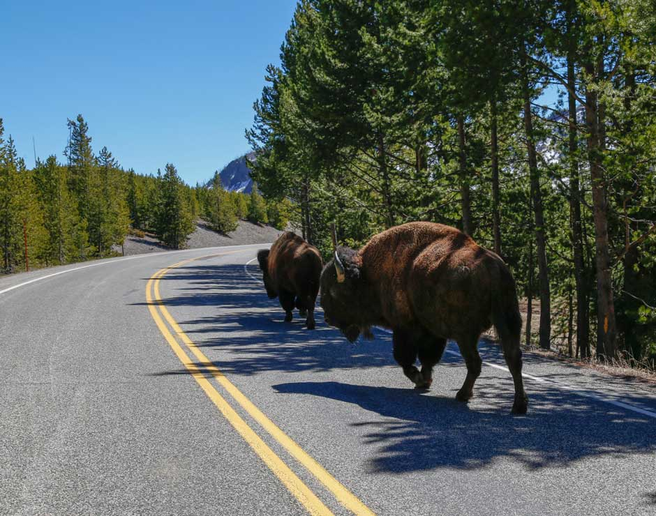 Buffalo bison walking down the road in Yellowstone National Park